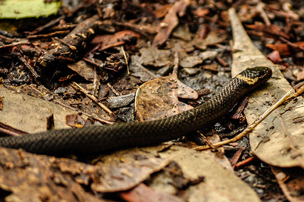 Dwarf Crowned Snake - Cacophis krefftii by Shirley
