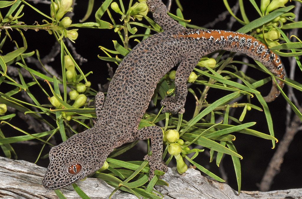 Golden-tailed Gecko