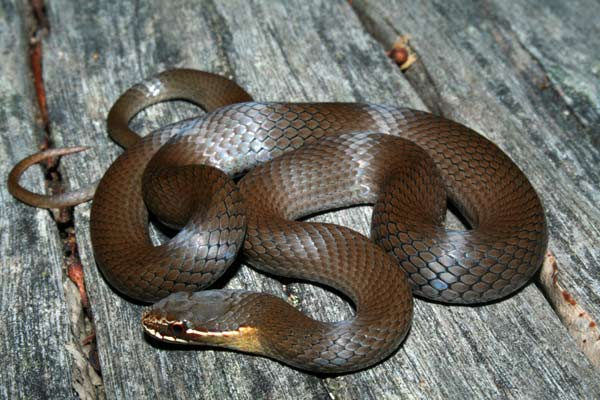 Marsh Snake - Hemiaspis signata