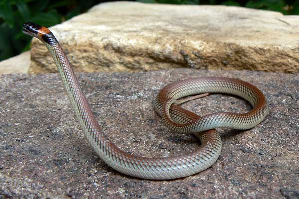 Snake ID manual