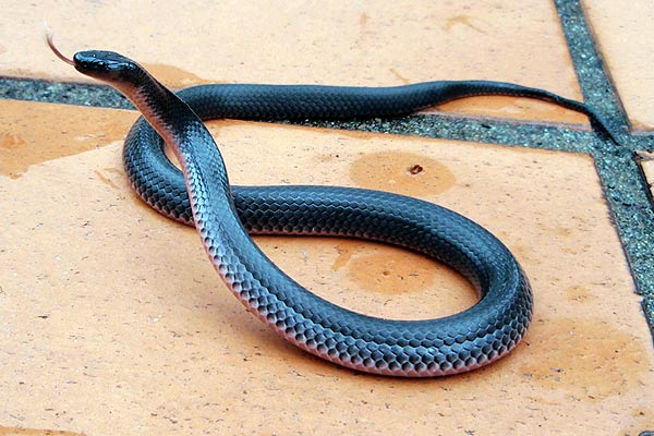 Small-eyed Snake - Cryptophis nigrescens
