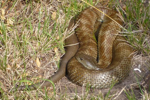 Tiger Snake - Notechis scutatus
