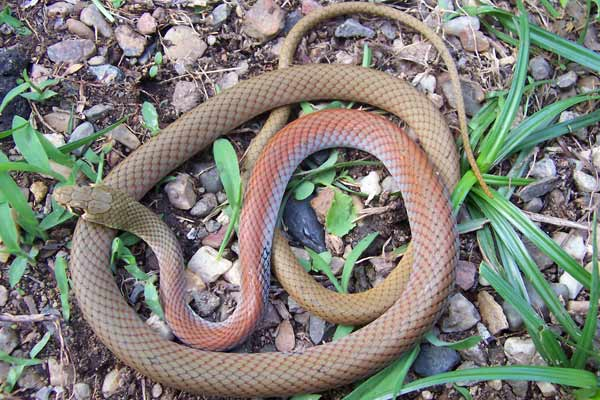 Yellow-Faced Whip Snake - Demansia psammophis